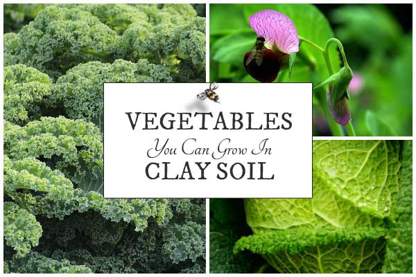 Vegetables you can grow in clay soil in the home garden.