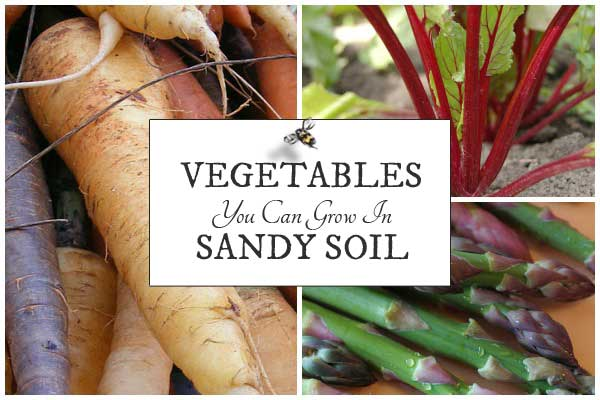 Vegetables you can grow in sandy soil in the home garden.