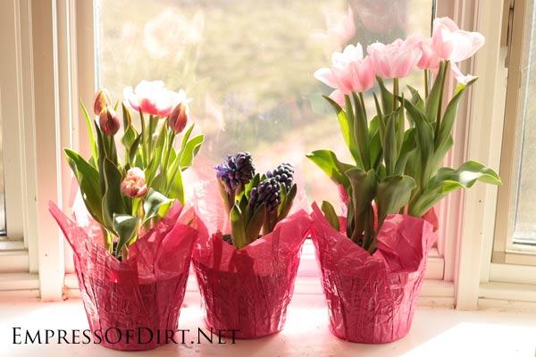 Flowering bulbs in pink pots in front of a window.