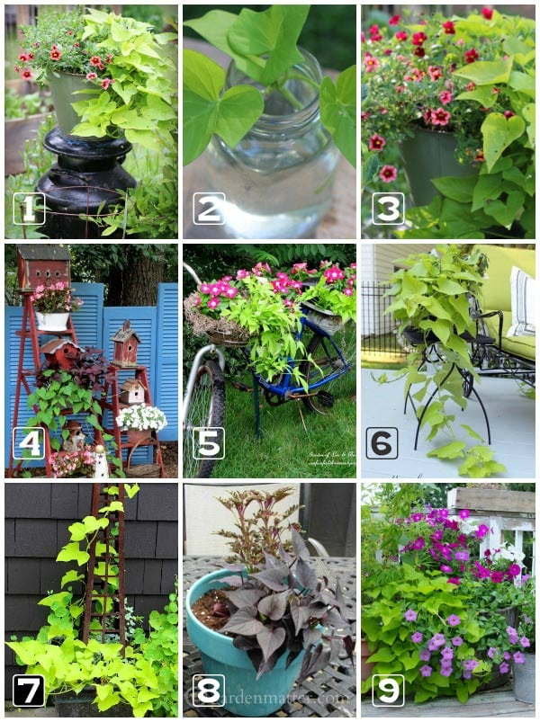 Uses-for-Sweet-Potato-Vine-C1