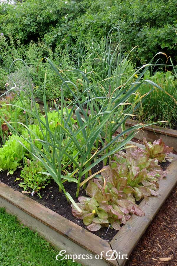 Veggie garden with rows of lettuce, onion, leafy greens.