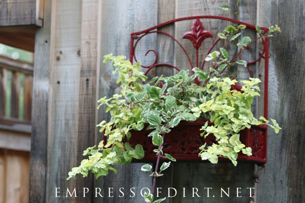 Trailing vines grow out of this old, red wall-mounted metal planter.