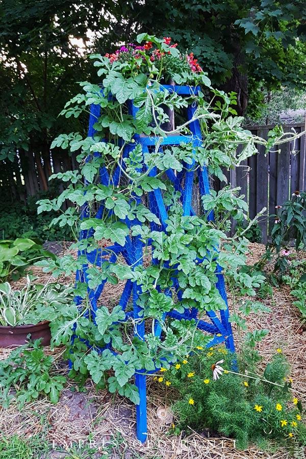 Garden obelisk with watermelon vine