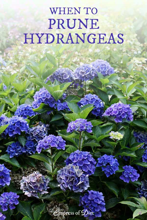 How to know when or if to prune hydrangeas.