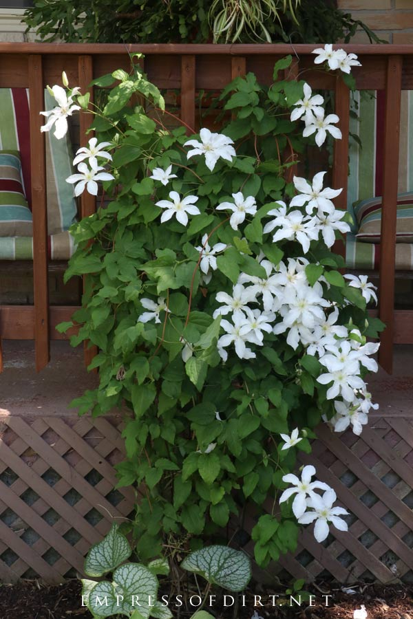 Clematis not blooming? Here's what you can do to get flowers. This white clematis is growing nicely on the trellis by the deck.