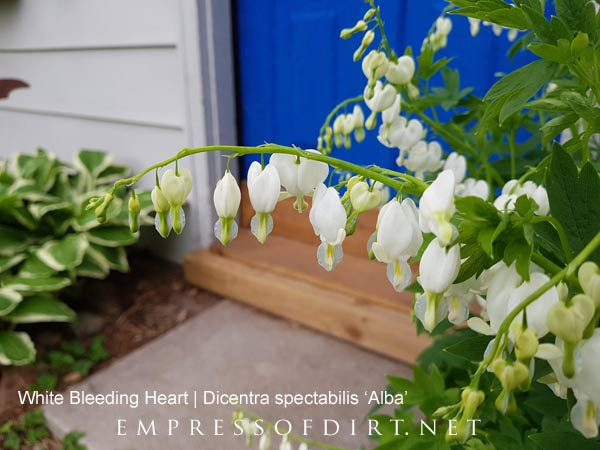 White bleeding heart in spring garden.