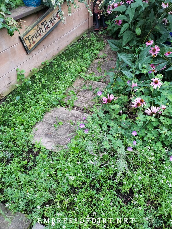 Paving stones surrounded by wildflower seedlings.