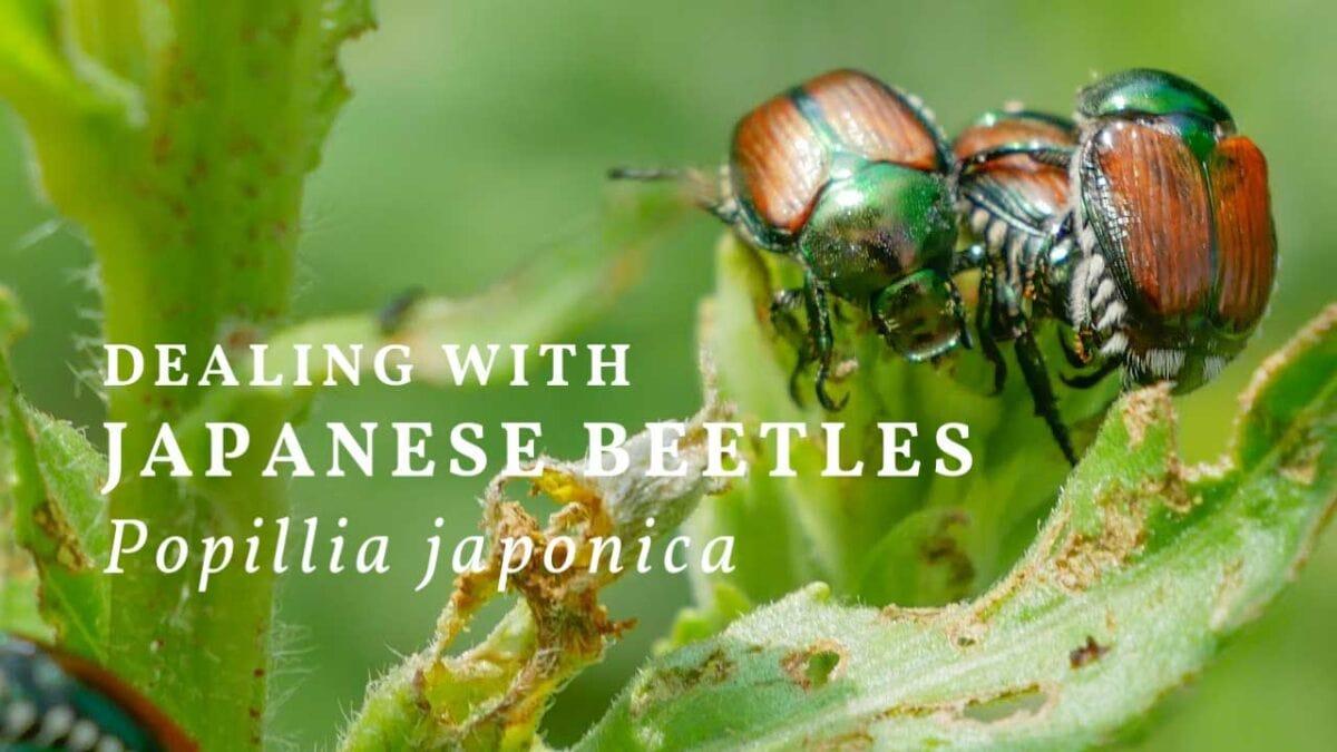 Japanese beetles (Popillia japonica) eating a leaf.