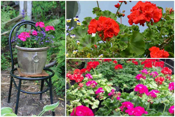 Saving geraniums