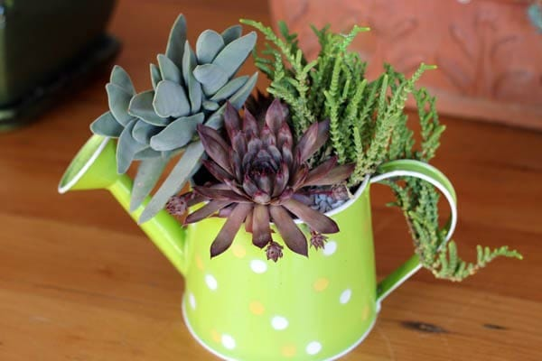 Polka dot watering can succulent planter.