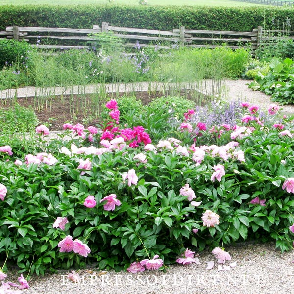 Peony hedge next to asparagus bed in garden.