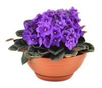 Purple Afric violet flowers.