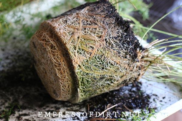Rootbound asparagus fern plant.