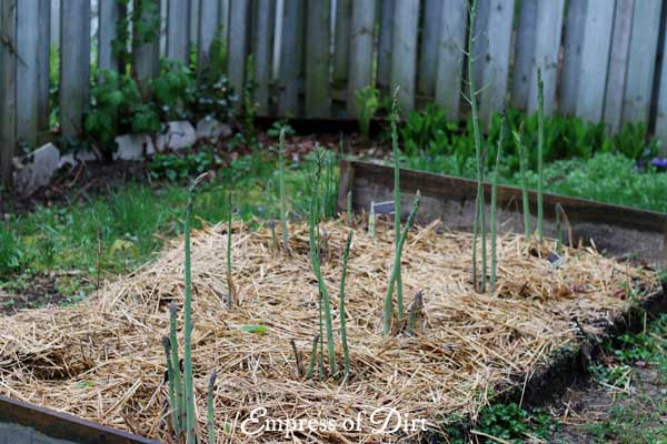 asparagus with straw mulch