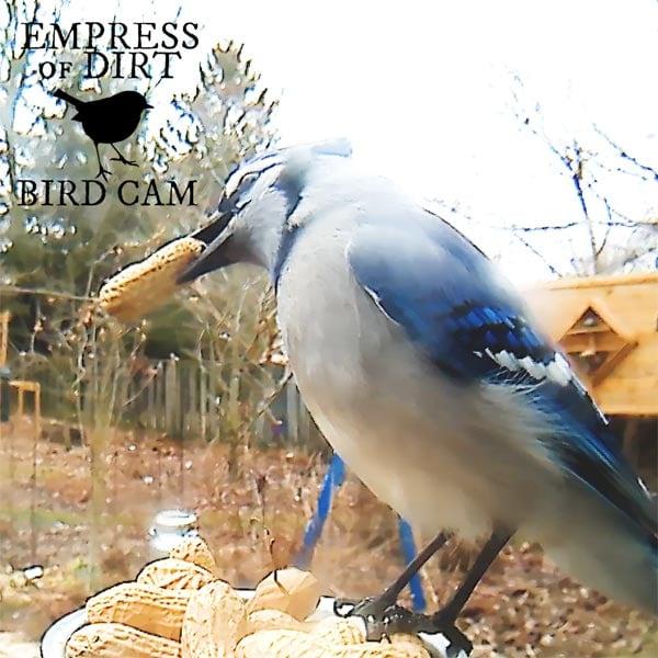 Blue jay bird eating peanut at feeder.