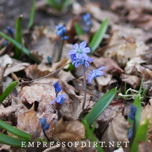 Jessie starflower blue flowers.