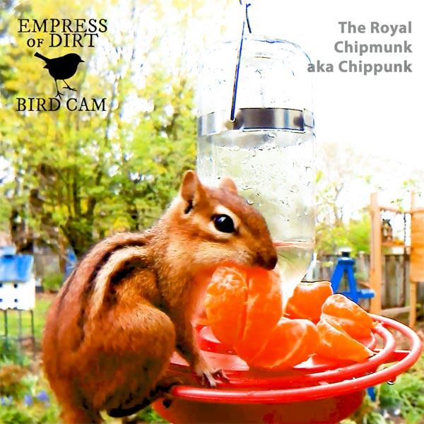 Chipmunk eating orange at hummingbird feeder.