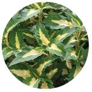 Variegated coleus leaves.