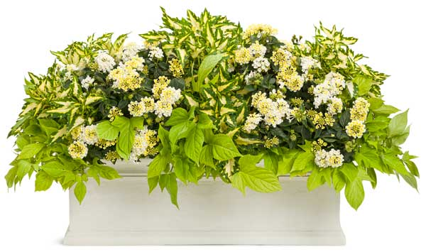 Plant lists for beautiful window boxes. Images courtesy of Proven Winners.