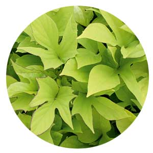 Light green sweet potato vine leaves.