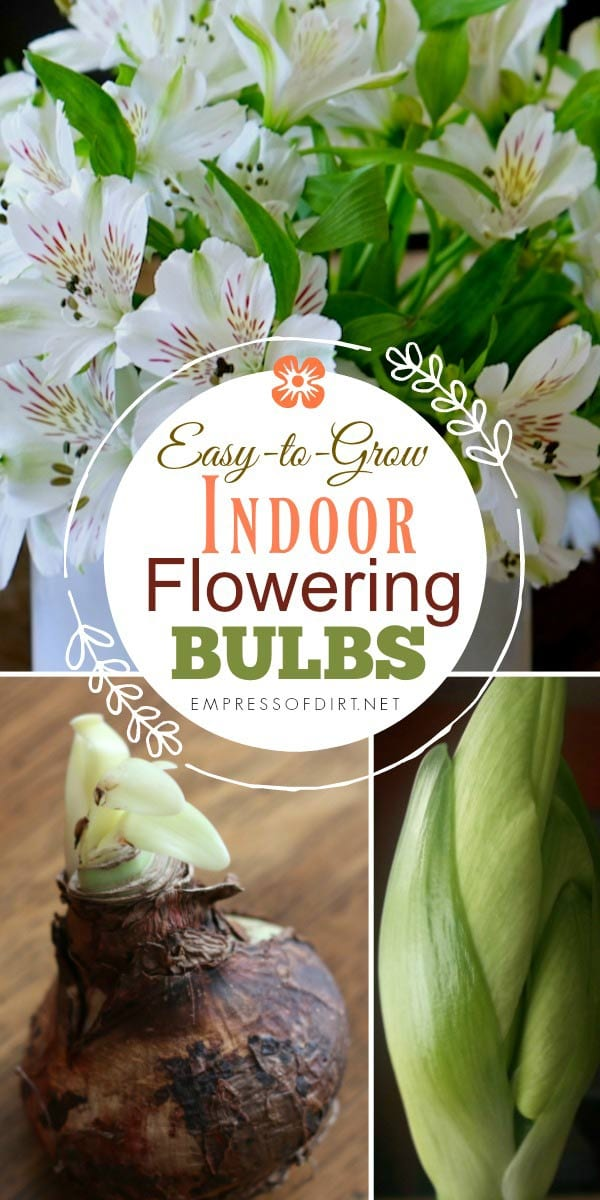 How to Grow Flowering Bulbs Indoors