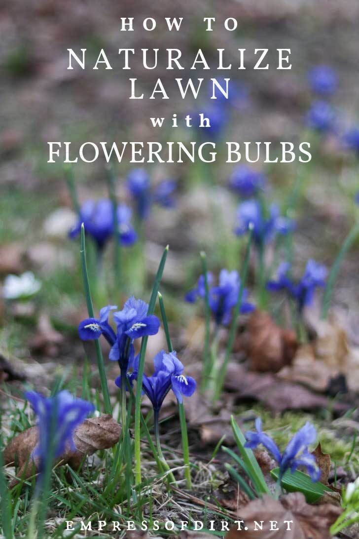 Naturalized bulbs in a lawn.