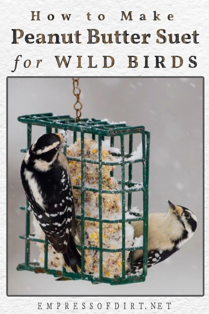 Woodpeckers eating homemade peanut butter suet at suet feeder in winter.