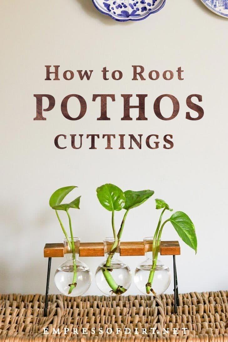 Pothos plant cuttings rooting in jars.