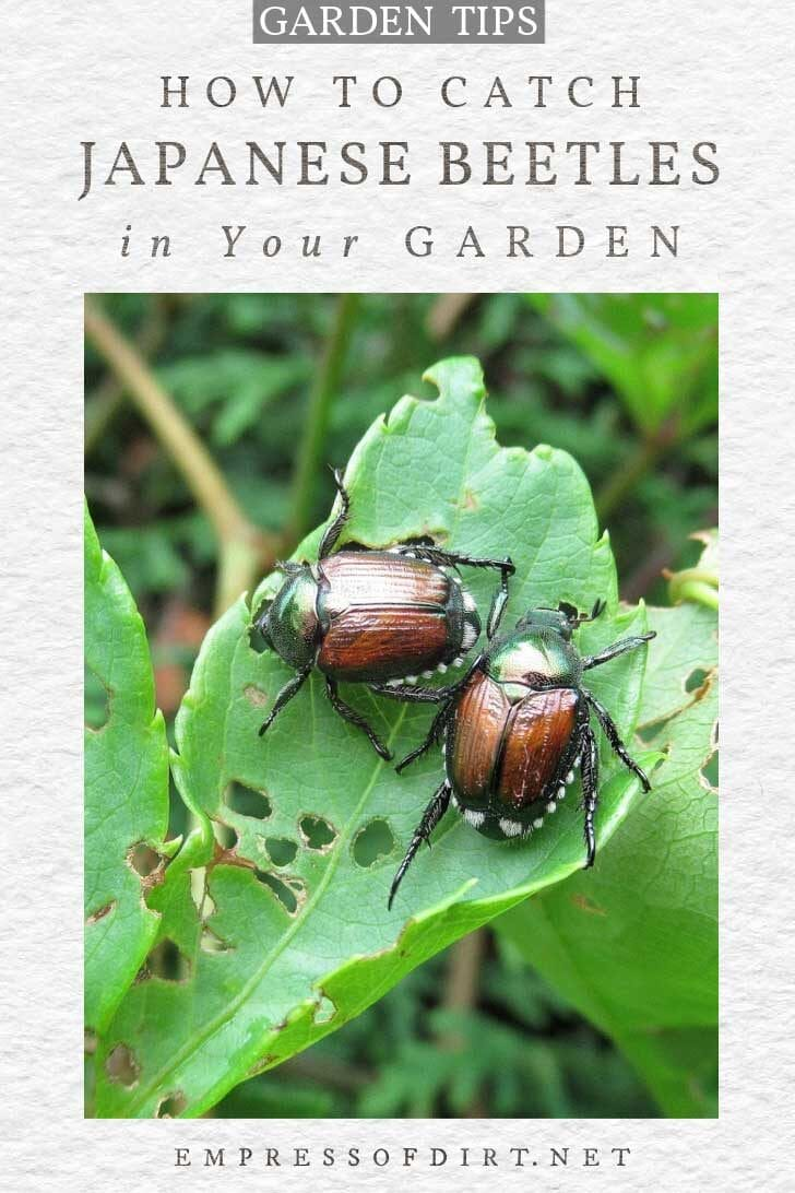 Japanese beetles eating a garden plant.