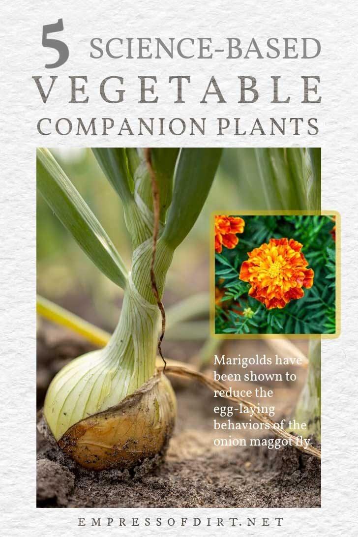 Marigolds planted near onions to reduce onion maggot flies.