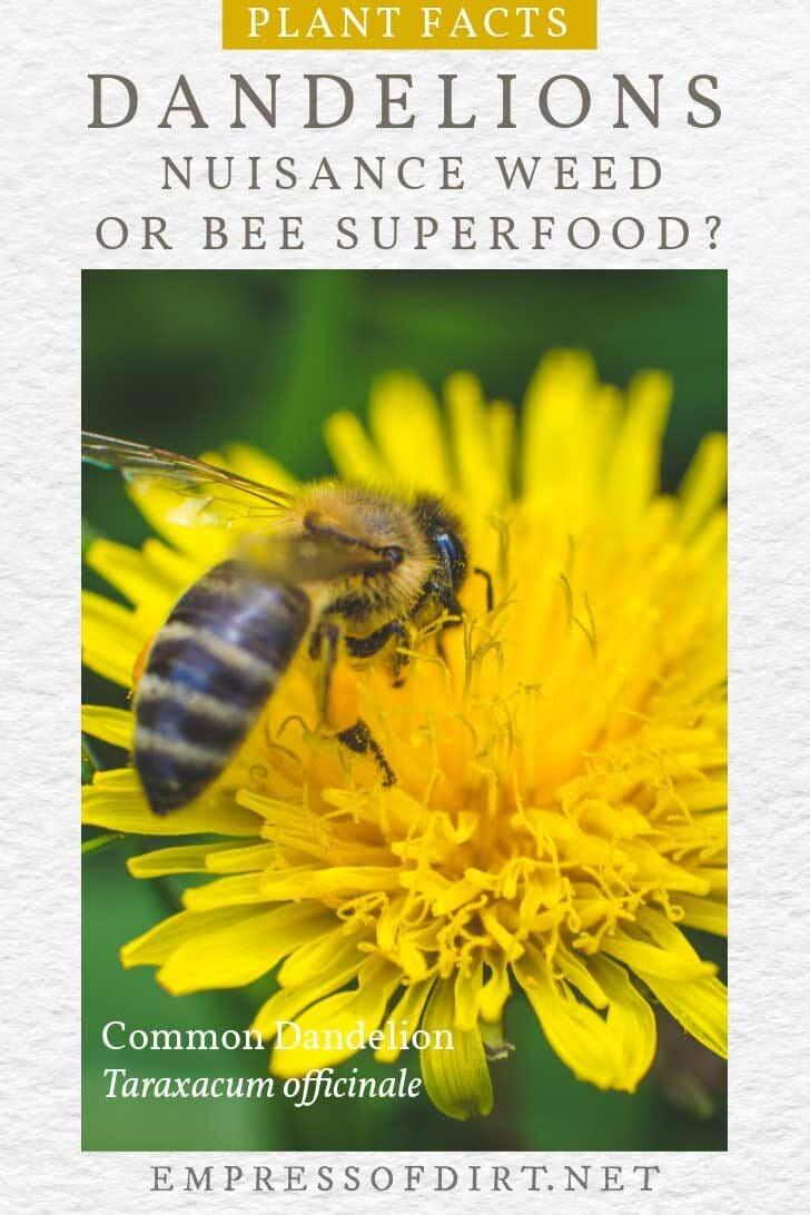 Bee collecting pollen on common dandelion.