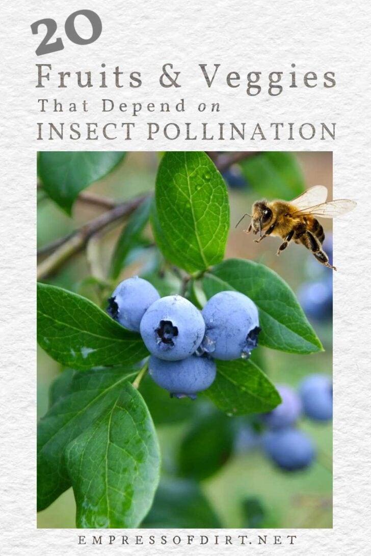 Honeybee flying by a blueberry bush.