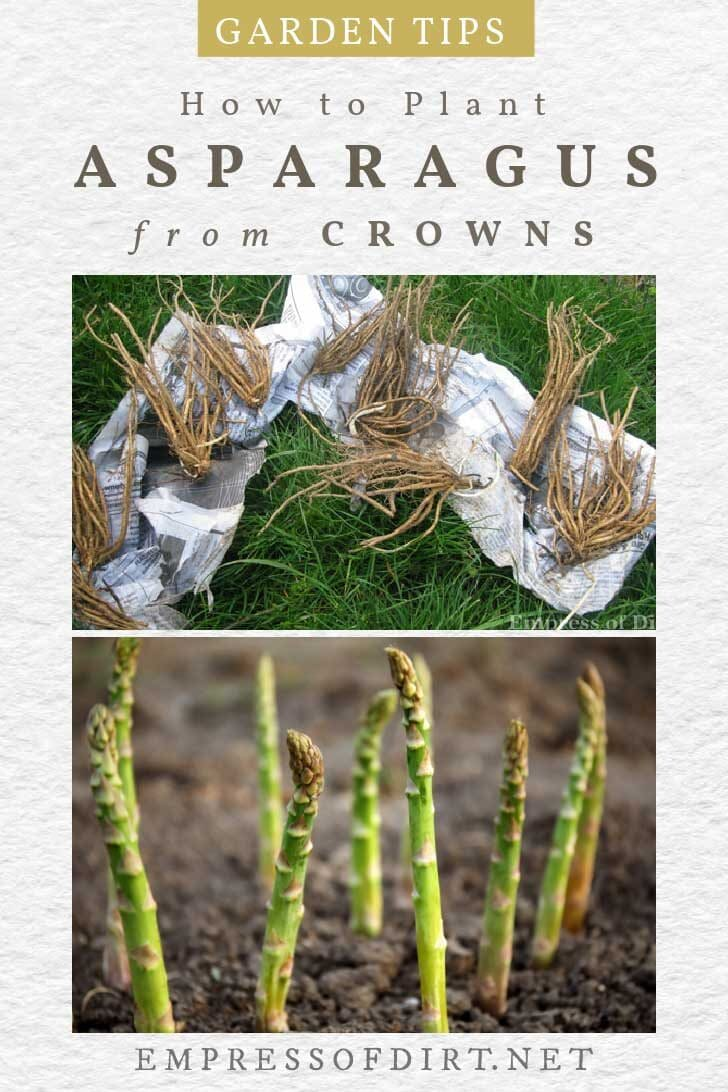 Asparagus crowns ready for planting; asparagus shoots in the garden.
