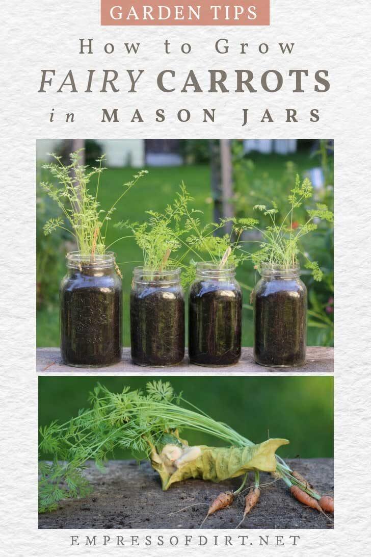 Carrots growing in mason jars.