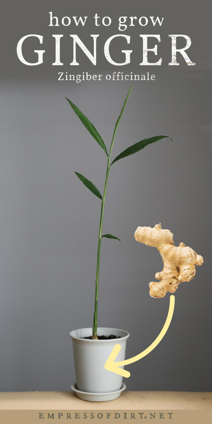 Ginger plant growing as a houseplant in a flower pot.