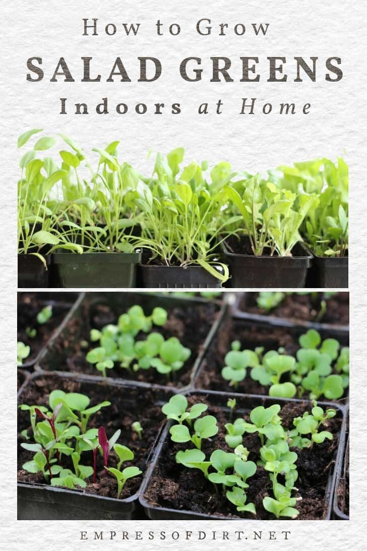 Growing leafy salad greens indoors at home.
