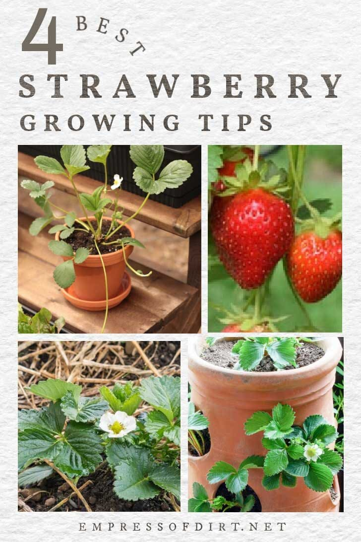 Strawberries growing in the garden in containers and in-ground.