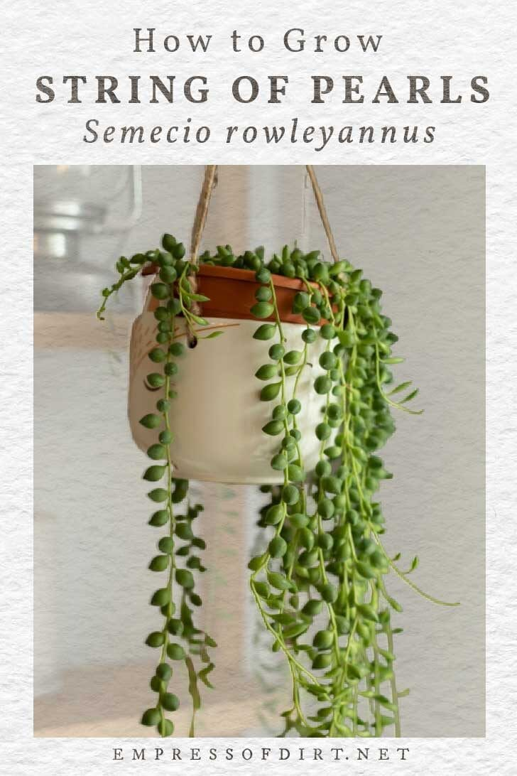 String of pearls houseplant in a white hanging planter.