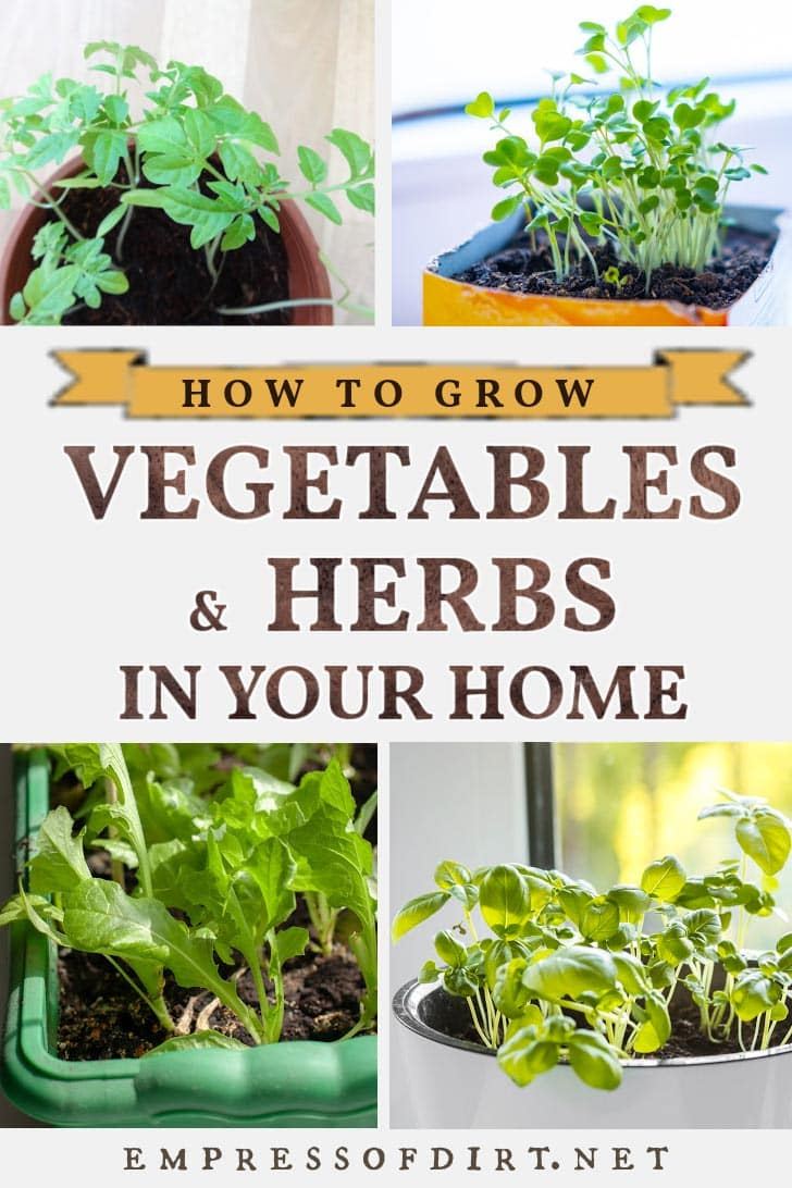 Microgreens, lettuces, and herbs growing indoors at home.