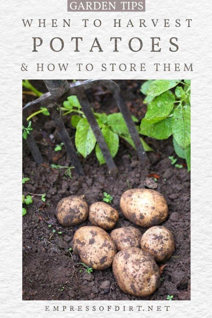 Harvesting potatoes in the garden.