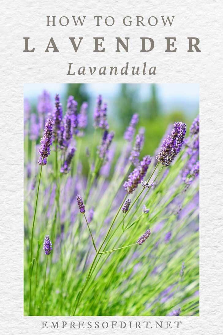 Lavender plants growing in a garden.