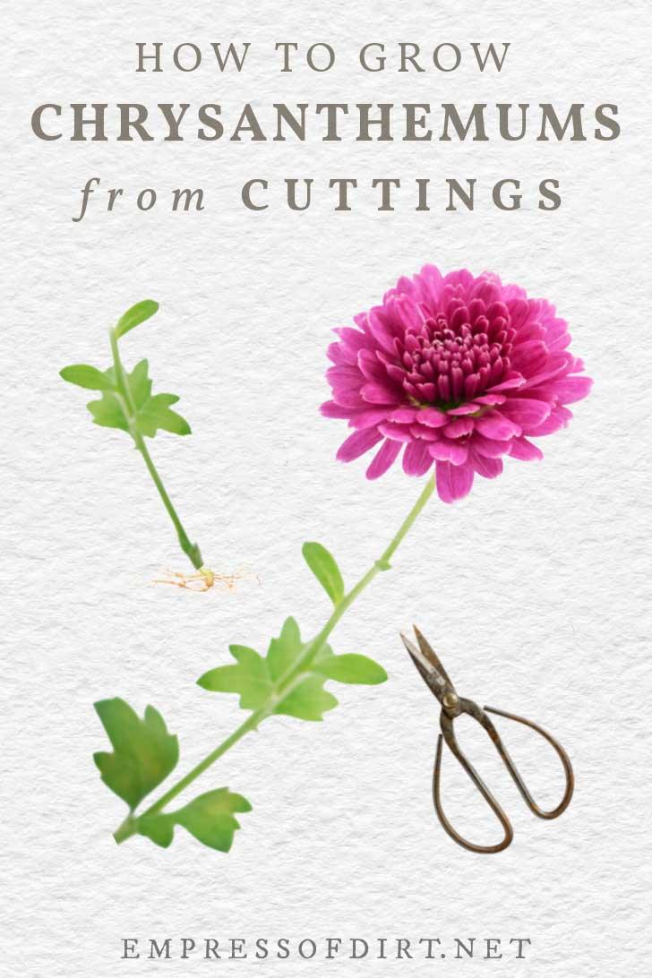 Chrysanthemum stem cutting for propagation.