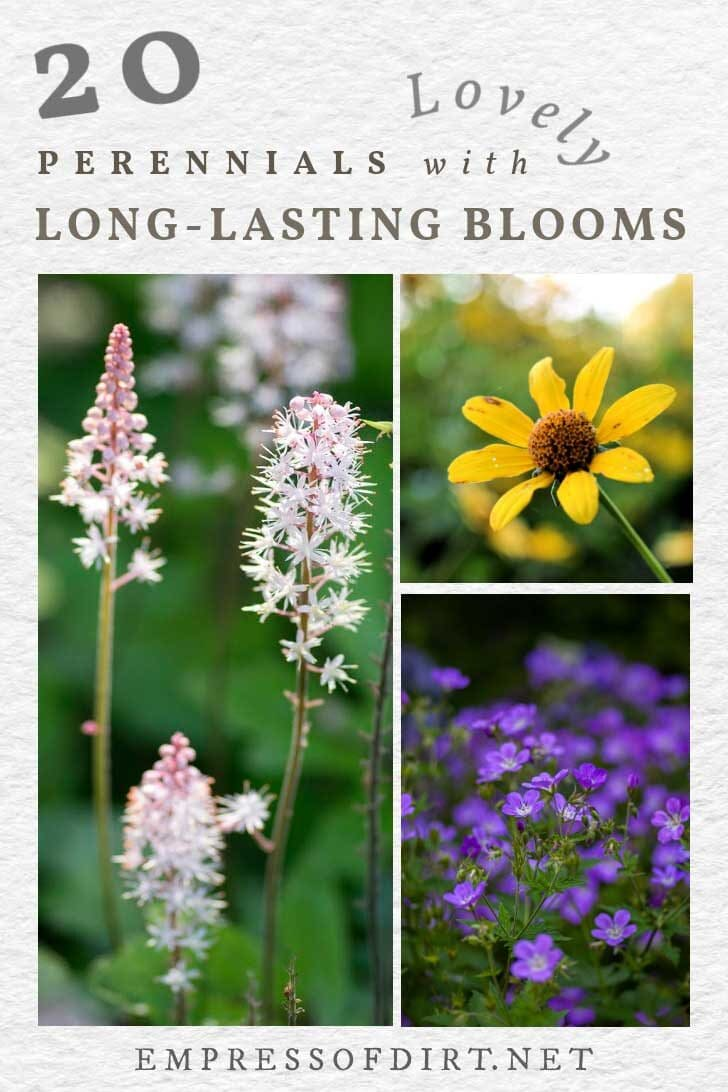 Examples of perennial flowers with long-lasting blooms including foam flower and black-eyed susan.