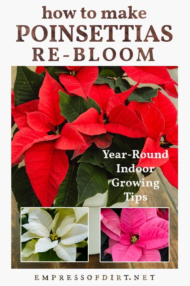 Red, white, and pink poinsettia flowers.