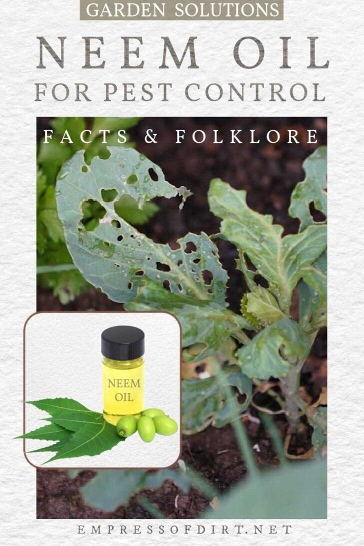 Neem oil in a bottle, neem leaves and fruit; pest-ridden garden plants.