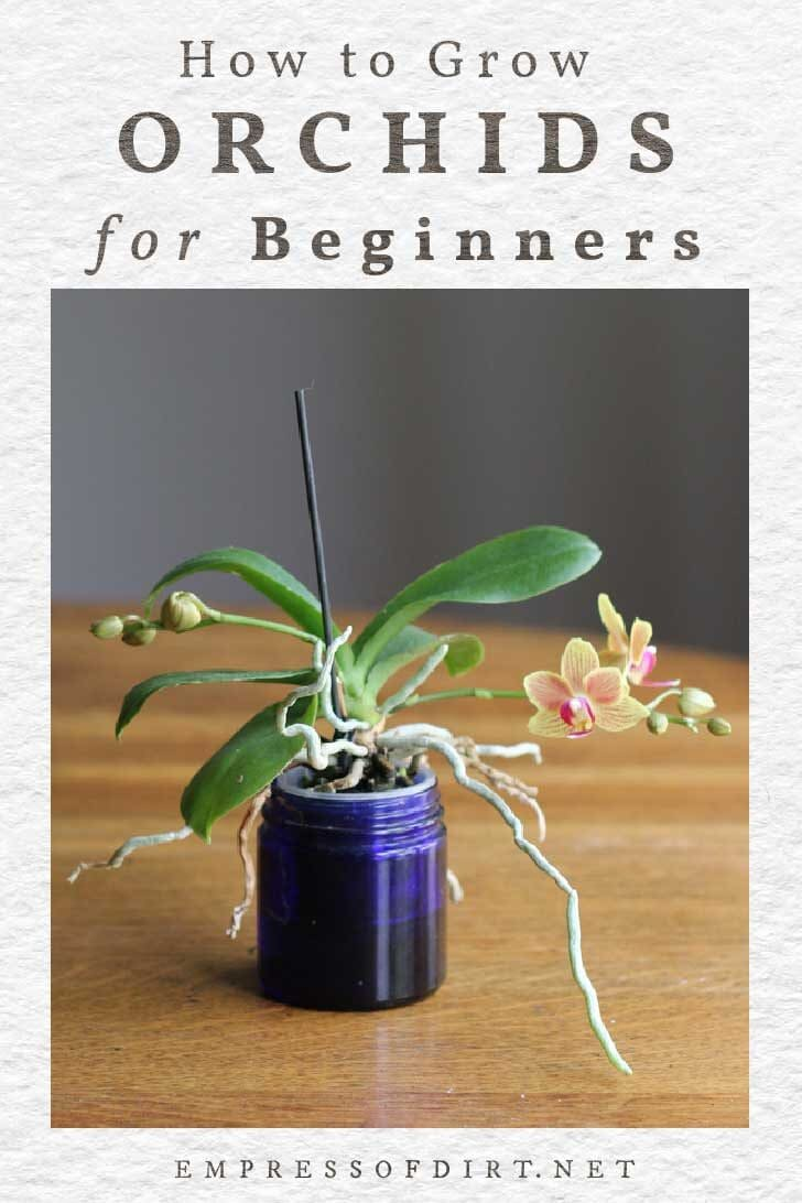 Small orchid growing in a blue jar.