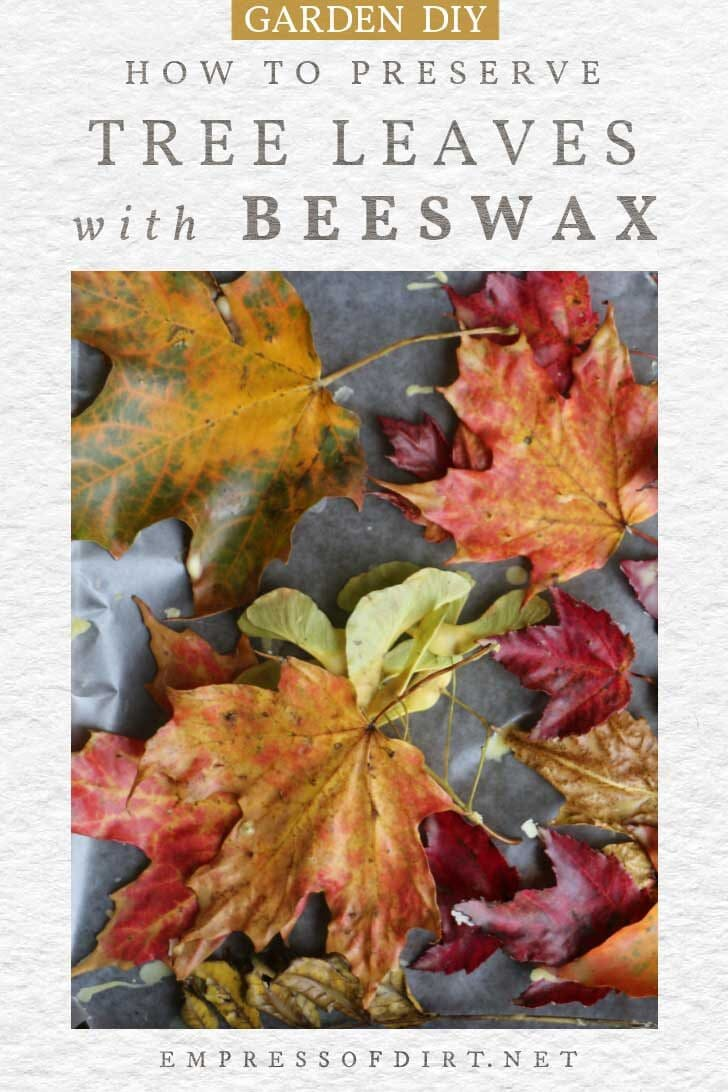 Colorful fall leaves preserved in beeswax.