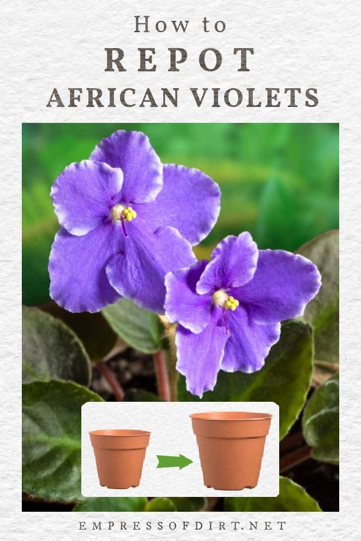 Purple African violet flowers and two sizes of flower pots.