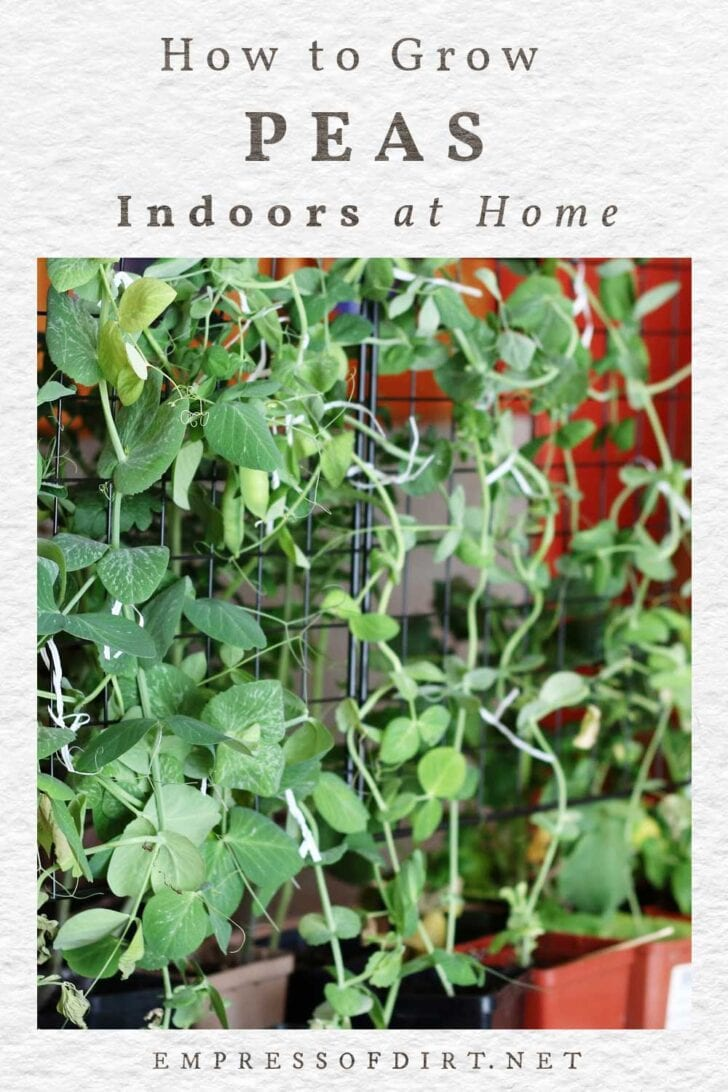 Growing green peas indoors at home.