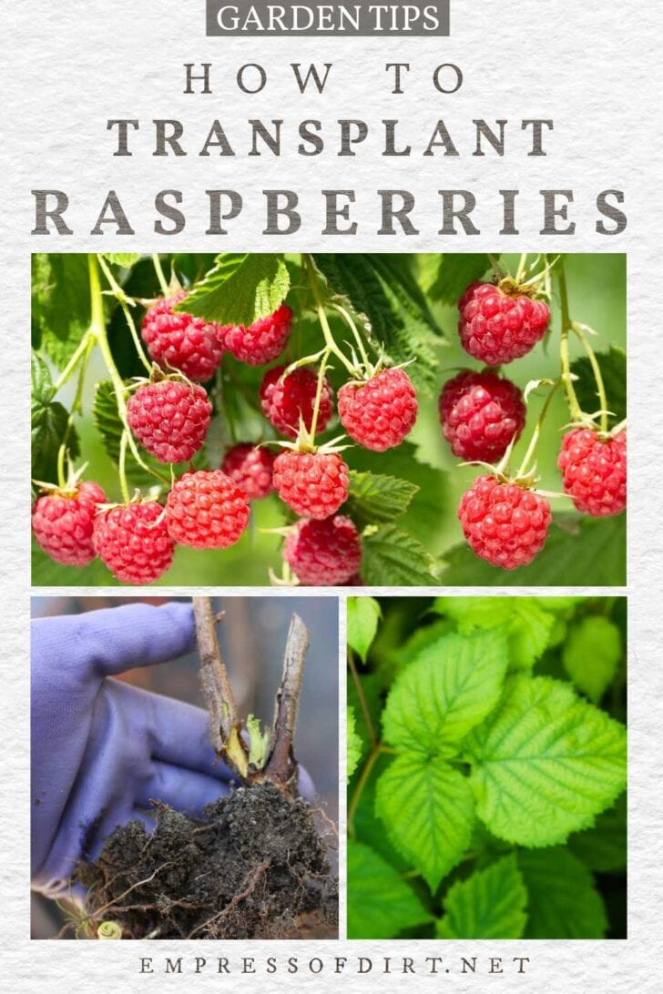 Transplanting raspberries in the garden: raspberry bushes and shovel.